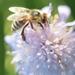 Včela - soft focus
