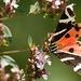 Motýlie hody