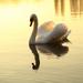 zlatá kačka