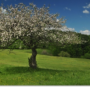 Strom v kvete