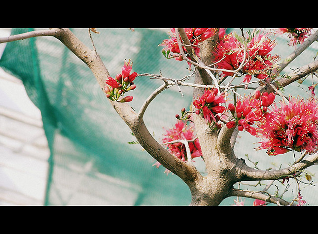 stromus anonymus