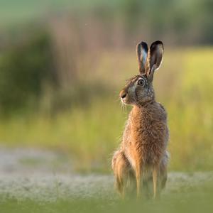 Smelý zajko