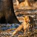 Líška so srncom