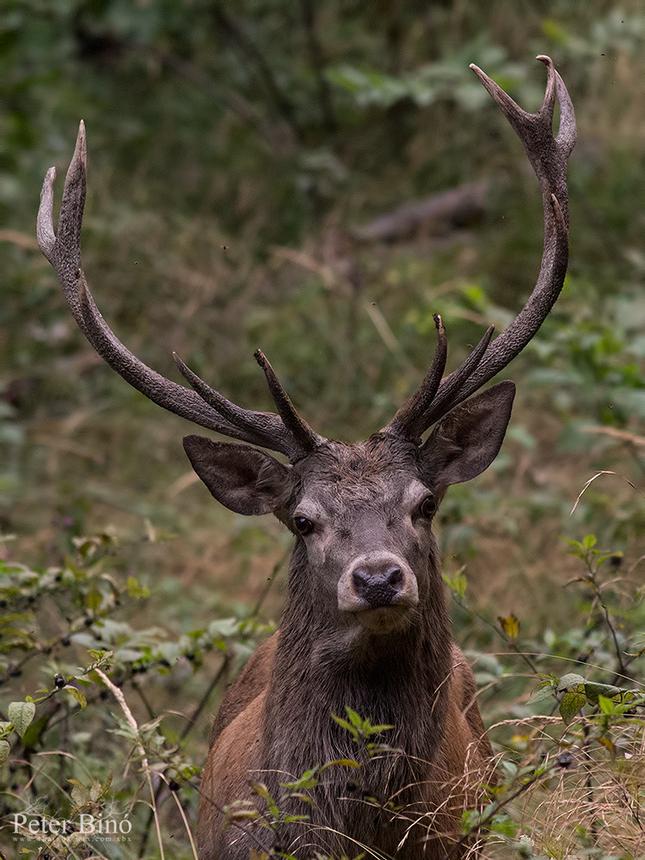 Jeleň lesný -Cervus elaphus-