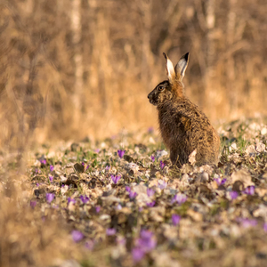 Zajac na šafráne