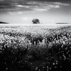 Z rozkvitnutých polí