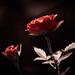 Červeň ruží