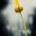O kráse tulipánov II.