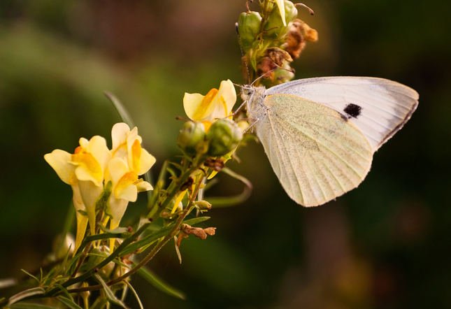 ... motýlia ...