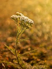 Kvety rána ...