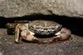 chorvátsky krabík