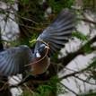 ...prvomájová holubica