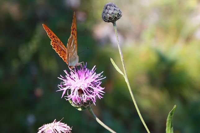 motýľ na Sivci