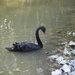 Čierny labuť