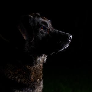 Low-key dog portrait II