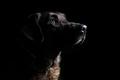 Low-key dog portrait I