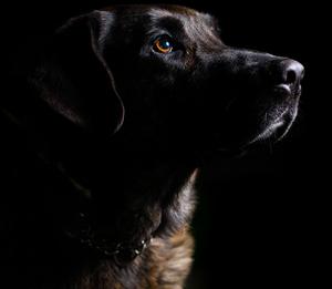 Low-key dog portrait I