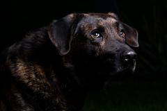 Low-key dog portrait III