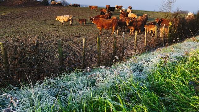 Premrznuté kravy