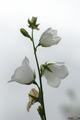 Biely kvet darujem ti biely kvet