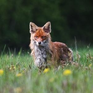Foxtrait