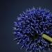 MAKRO modrého kvetu