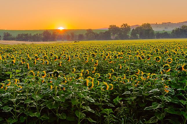 slnečnice z rána