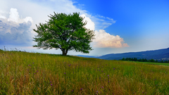 Strom na Jasení