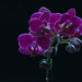 orchidea na čiernom