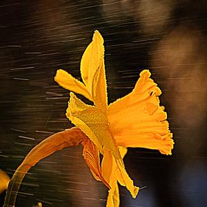 Narcisové osvieženie