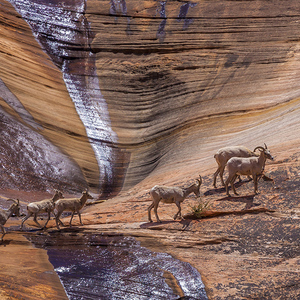 Mountain goats in Zion