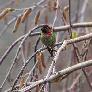 Anna´s Hummingbird