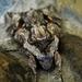 Sphinx pinastri