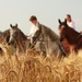 Obilie, kone a kroje