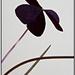 kvet III.