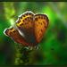 Oranzovy motyl