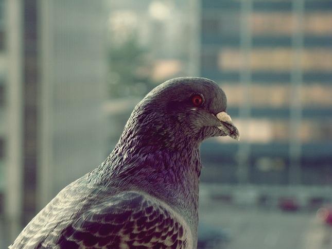holub - každý deň na mojom balkó