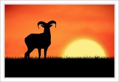 Muflon pri západe slnka