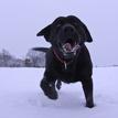 príšera z Labradora
