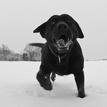 príšera z Labradora čb