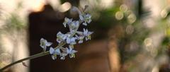 EšterazorchideaLudisia