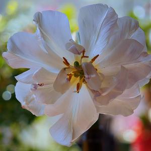 Tulipánšalátový