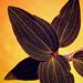 Jewel Orchids II