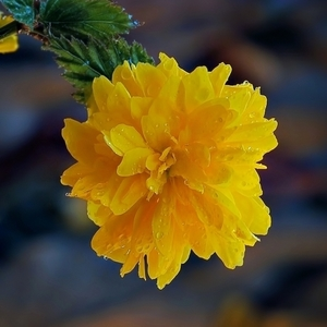 Depkovec žltý