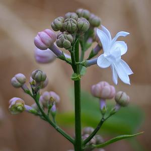 Zrúžovéhopukubielykvet