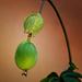 Plodová