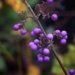 Gluľkovica fialová