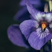 Jarno fialková