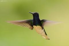 kolibrík bielokrký