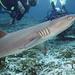 Žralok útesový